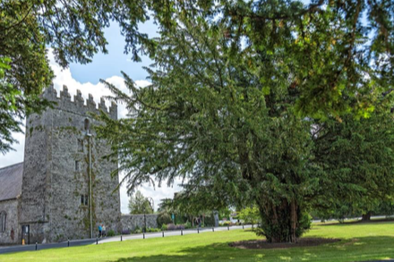 Yew tree at St. Patrick's College, Maynooth
